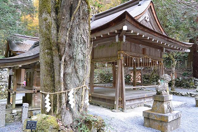 奥宮拝殿横のカツラの木