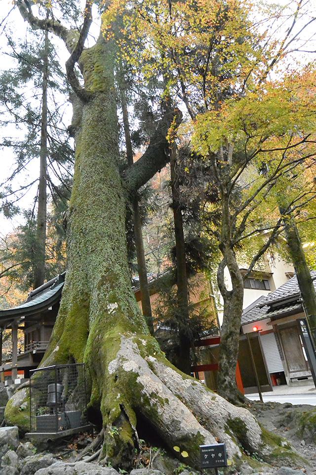 貴船神社・鳥居のケアキの木