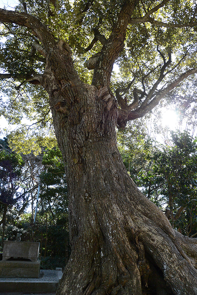 大洗磯前神社・境内の木