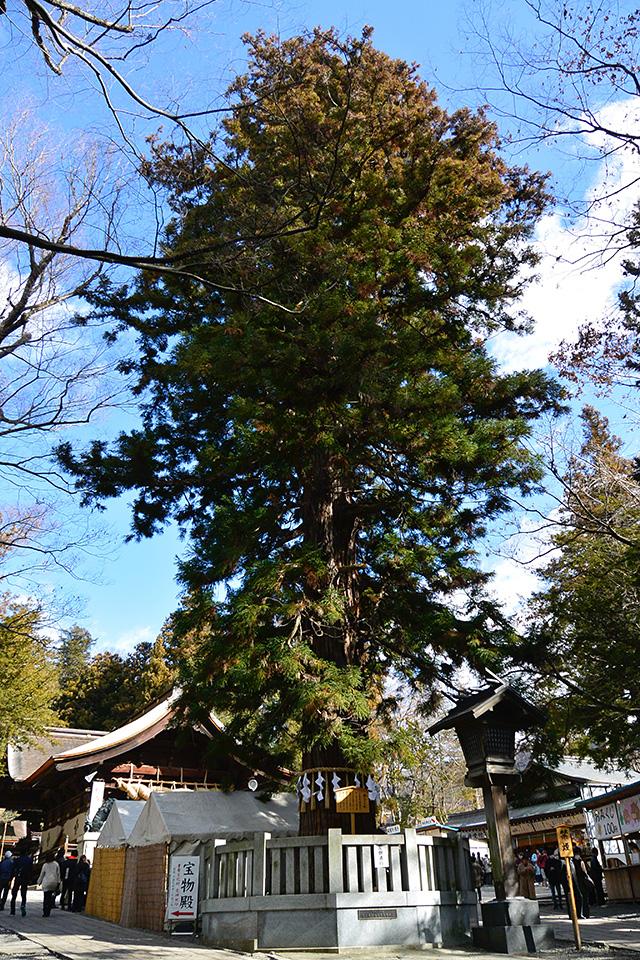 下社・秋宮「寝入りの杉」