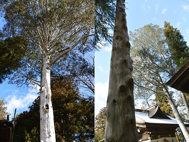 下社・秋宮の珍しい「白い木肌の松」と御柱