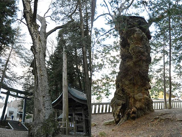 上社・本宮「大ヒノキ」と老木
