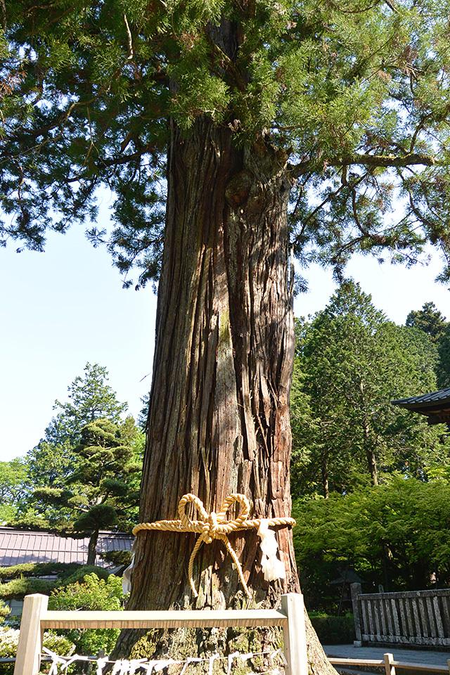 北口本宮冨士浅間神社の太郎杉