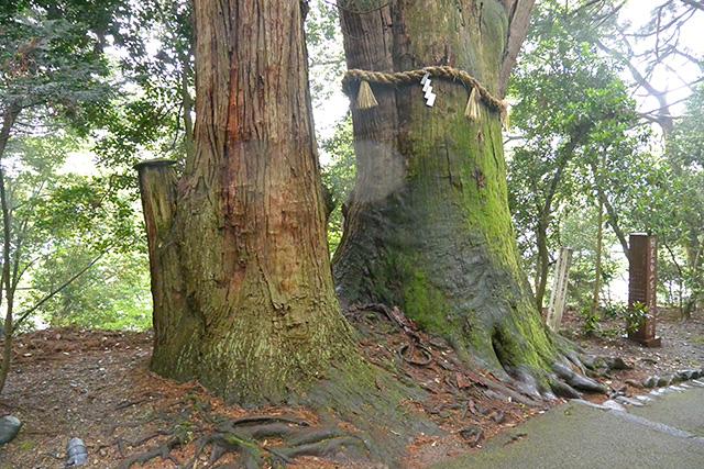ご神木の老杉