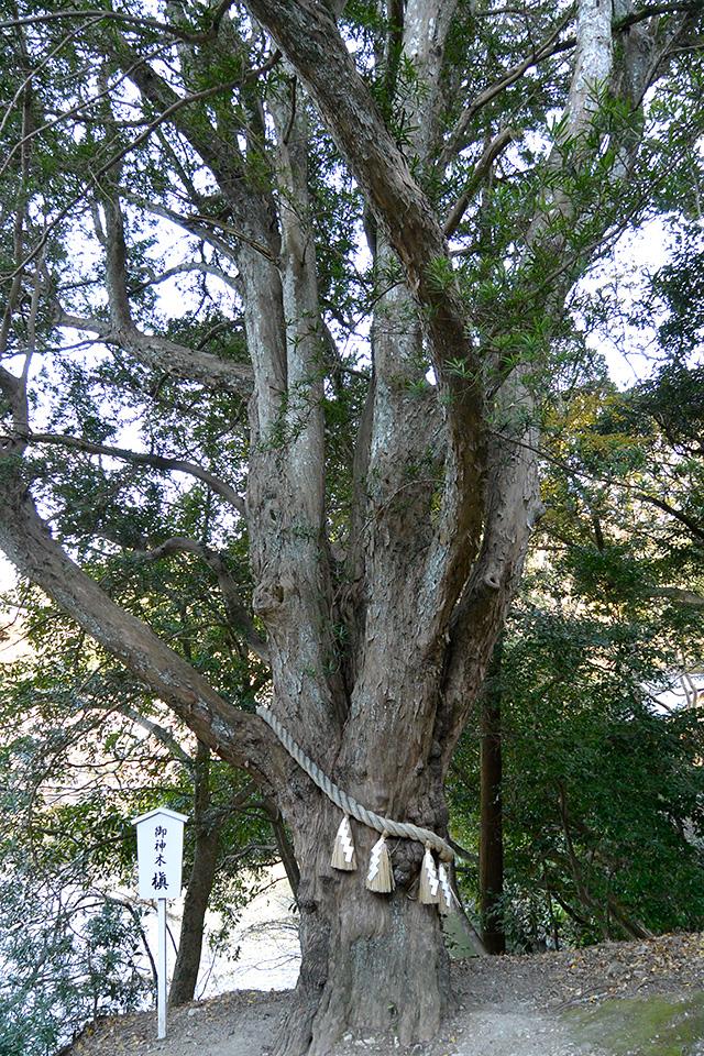 安房神社の御神木槇