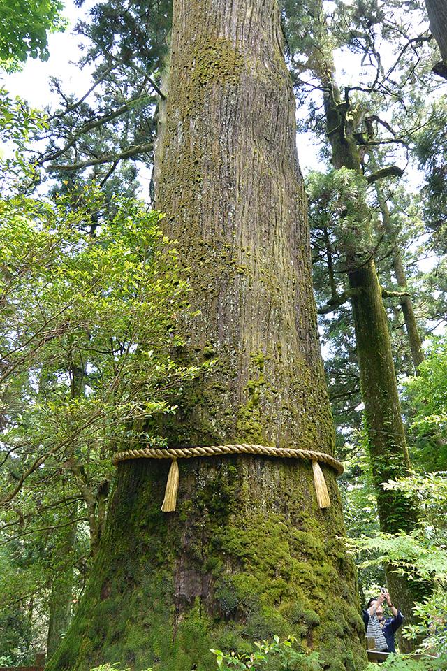 箱根神社の矢立の杉