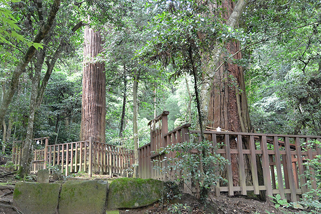 佐久佐女(さくさめ)の森[奥の院]夫婦杉