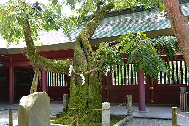 ご神木というべき胡桃の木