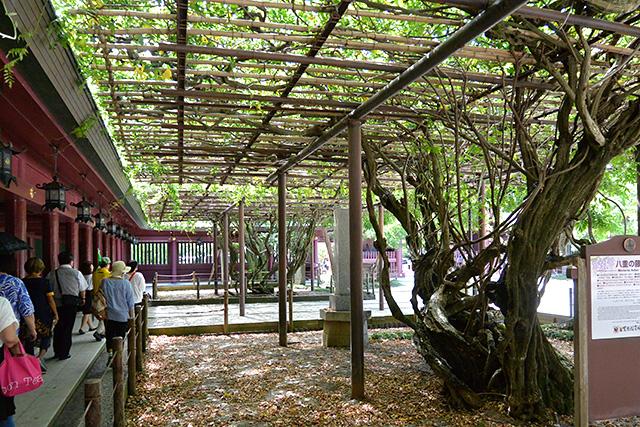笠間稲荷神社・八重の藤