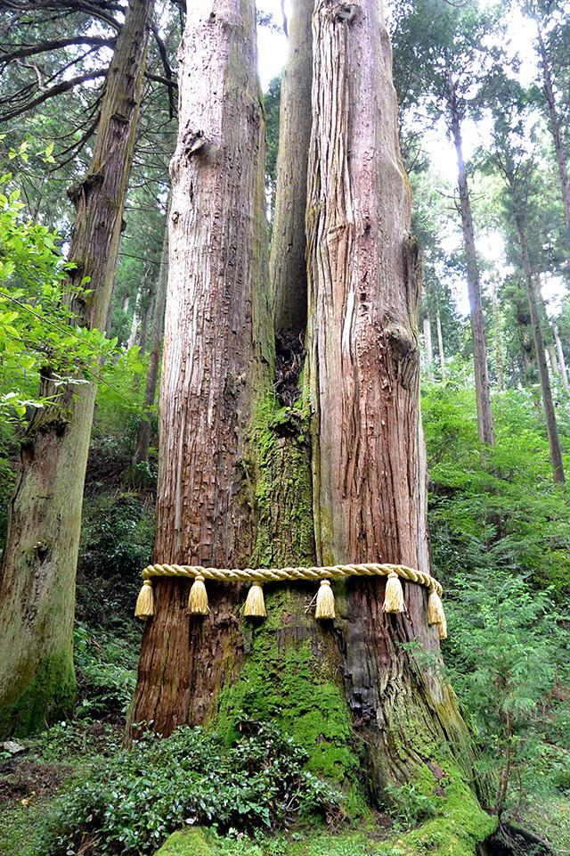御岩神社・ご神木の三本杉