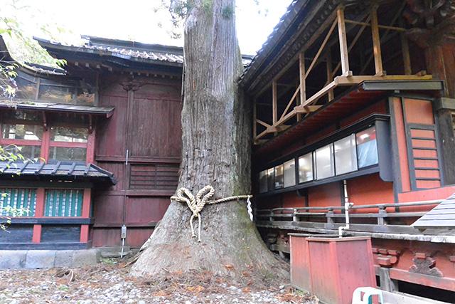 北口本宮冨士浅間神社の二郎杉