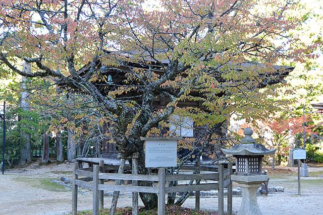 高野山・西行桜
