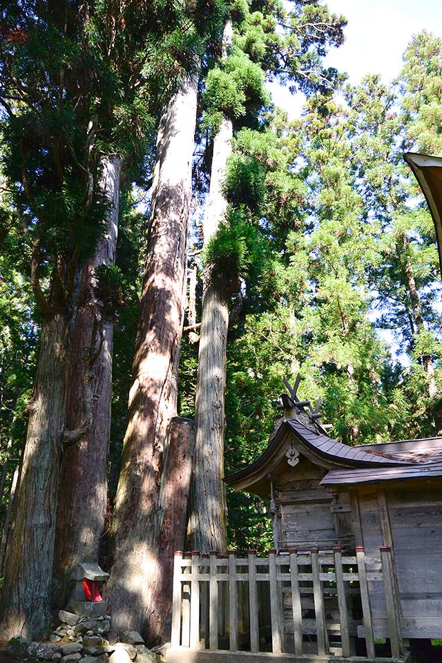 高倉神社・本殿と杉の木