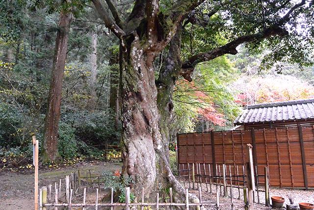 小國神社・ひょうの木(縁結びの木)