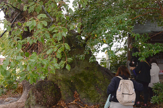 西光寺・大楠と梛の木