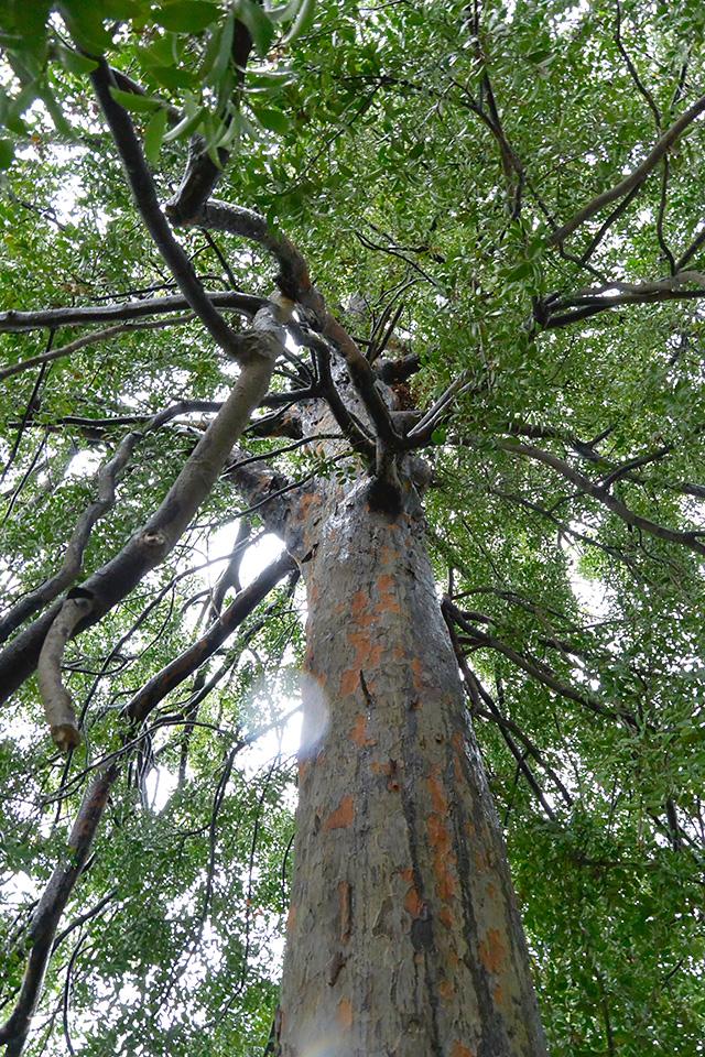 西光寺・珍しい梛の木