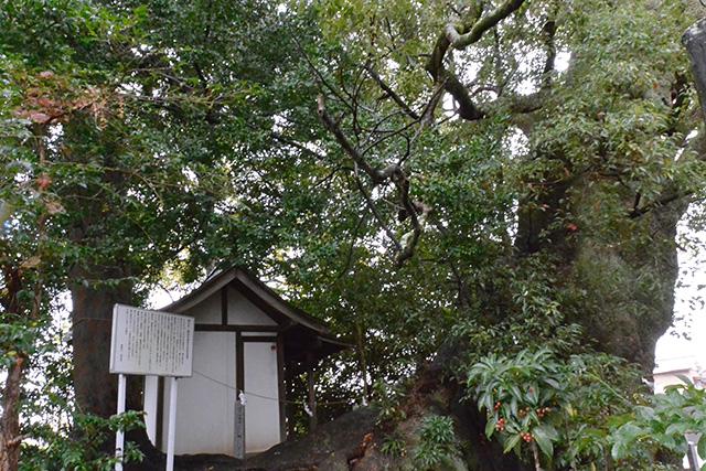 西光寺・梛の木と大楠
