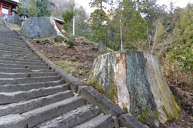 波己曽社・階段の大杉の切り株