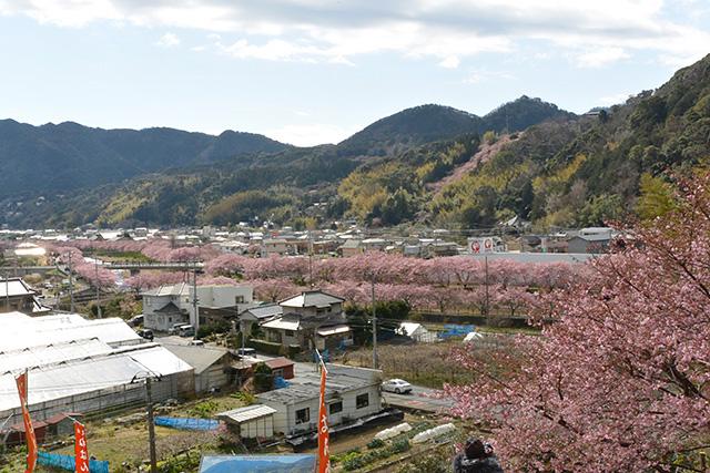 涅槃堂桜見晴台からの河津桜の俯瞰