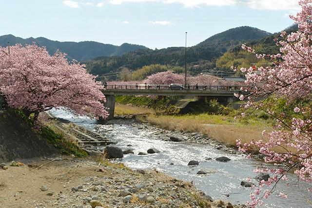 河津桜・かわづいでゆ橋