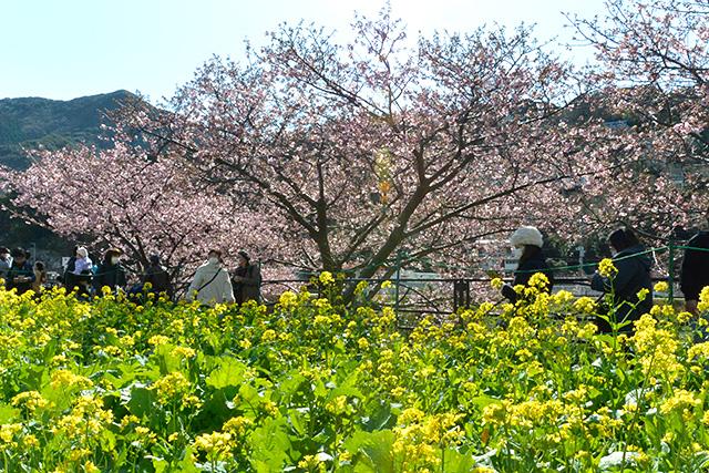 河津桜・菜の花ロード