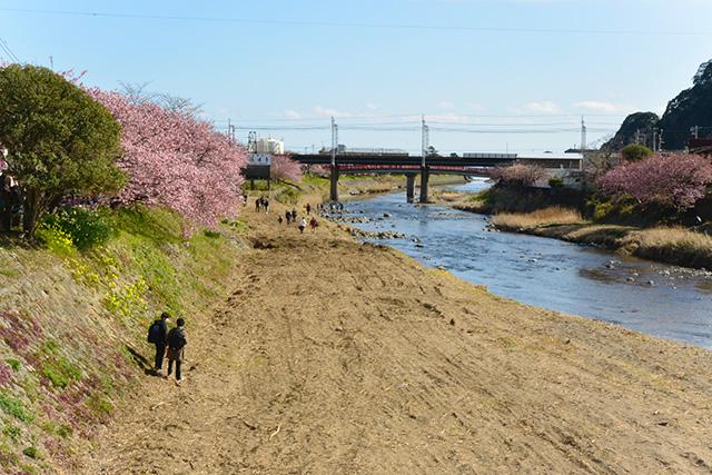 河津桜・荒倉橋付近の川辺