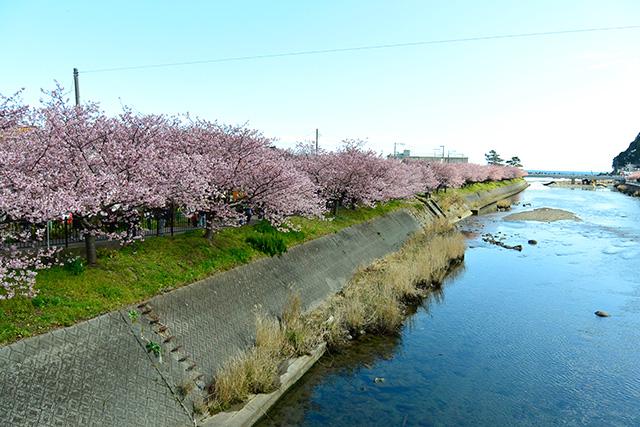 河津桜・館橋からの下流の景観