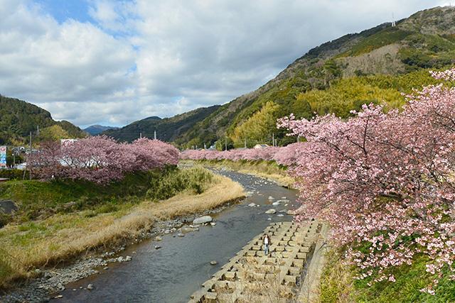 河津桜・かわづいでゆ橋から上流(峰小橋の方)の景観