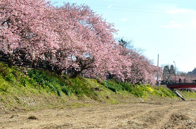 河津桜まつり2020 7つの橋からの景観。食べ歩きと館橋の桜トンネル