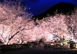 関東二大冬桜めぐり&みかん狩り